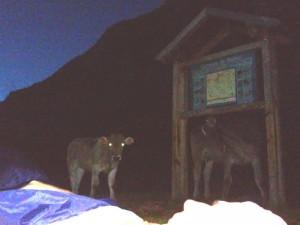 La Munia 00 vacas